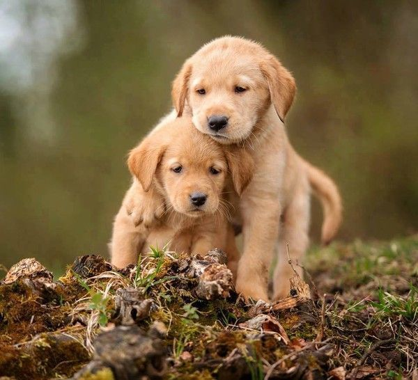 Labrador for Fond ecran chiot